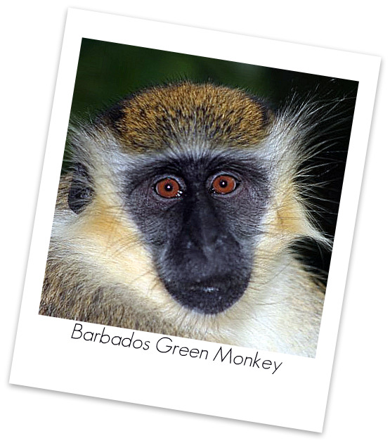 barbados-wildlife-reserve-barbados-green-monkey
