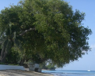 Manchineel Trees Danger Don T Touch These Trees