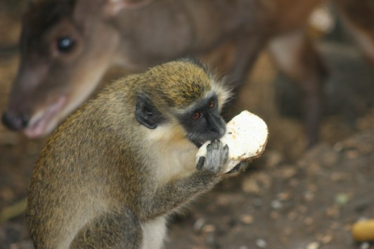 barbados green monkey eating