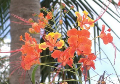 pride-of-barbados-flower