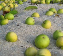 avoid this apple look alike this is the dangerous manchineel fruit it's poisonous